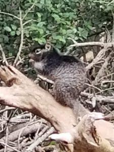 Brown ground squirrel