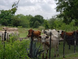 Texas long horn cattle