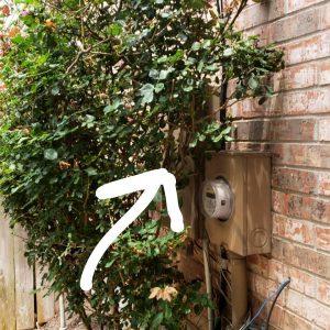Rose bush blocking the exterior electric panel